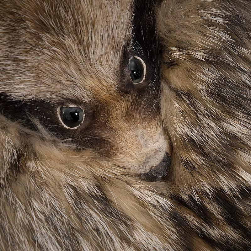Chinese Racoon Head Sporran